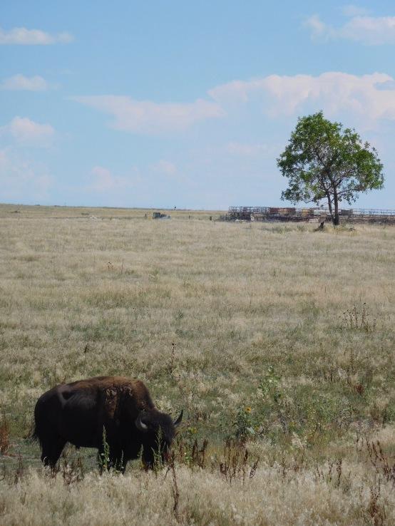 BuffalowithTree