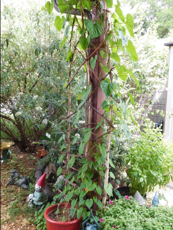Trellis- Covered with Moonflower Vines