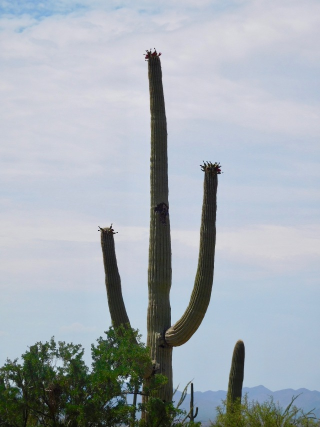 Saguaro with Flower Pods