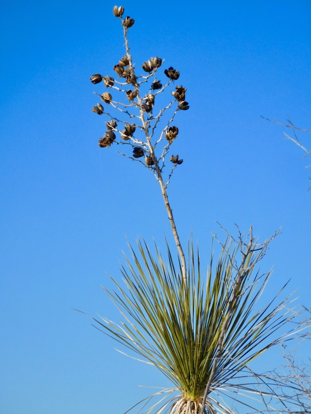 Soaptree Yucca on Dune Life Trail with Spent Blossom